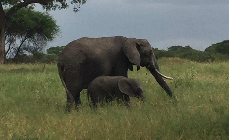Tanzania Zanzibar safari rejse ngorongoro elefant med unge