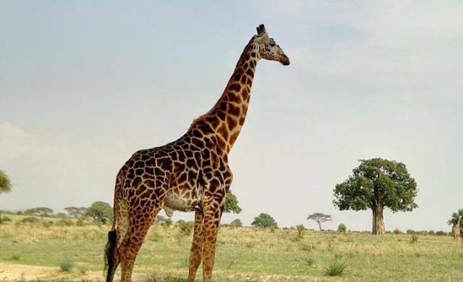Stone Town, safari og Zanzibar - 11 nætter i Tanzania