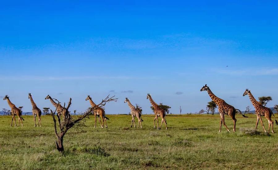Tanzania Zanzibar safari rejse ngorongoro giraffer på savannen