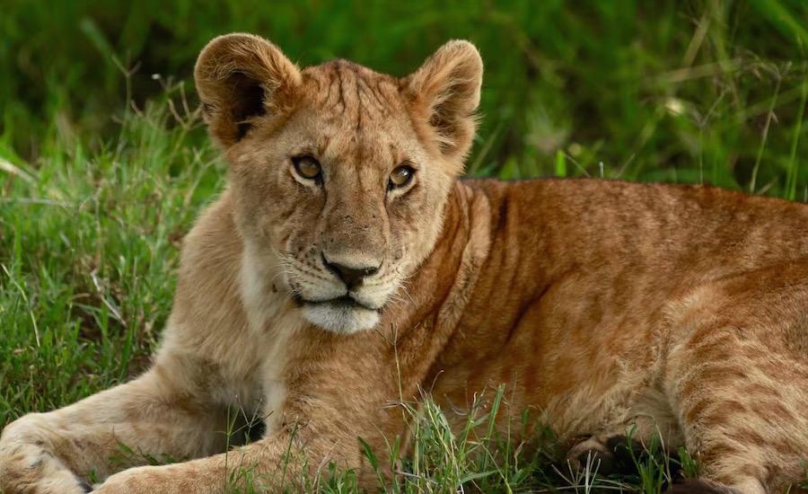 :Safari i Tanzania