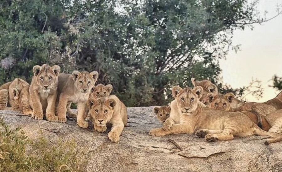 Tanzania Zanzibar safari rejse ngorongoro løve familiefamiliesafari i Tanzania