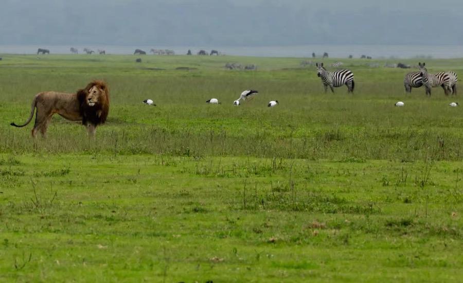 Tanzania Zanzibar safari rejse ngorongoro løve og zebra på savannen