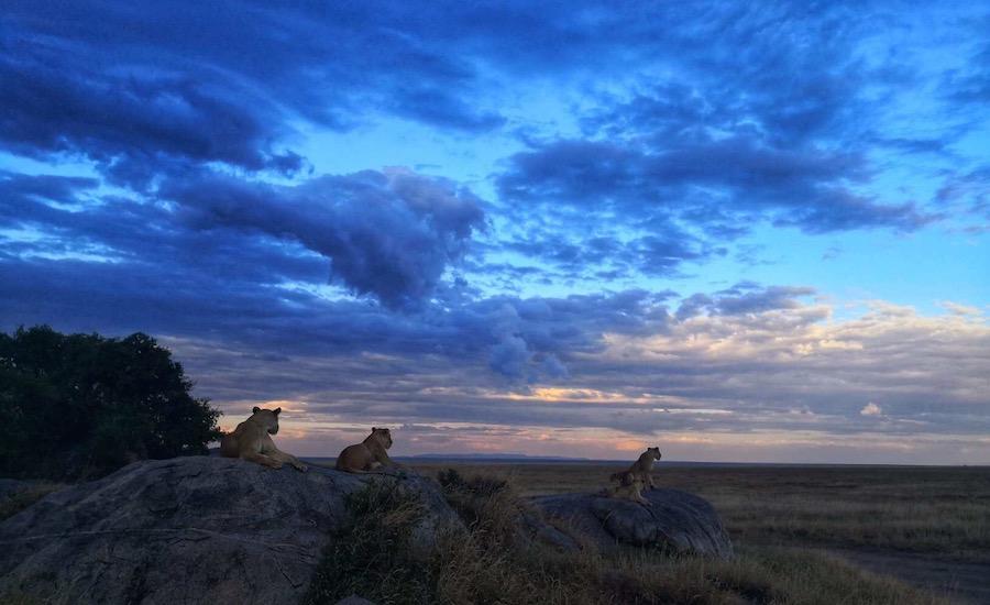 Tanzania Zanzibar safari rejse ngorongoro løver i solnedgang
