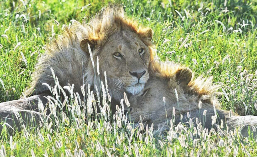 Tanzania Zanzibar safari rejse ngorongoro løver