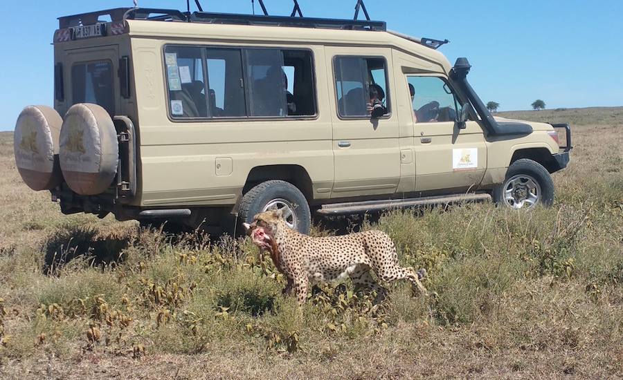 Tanzania Zanzibar safari rejse safaribil og gepard