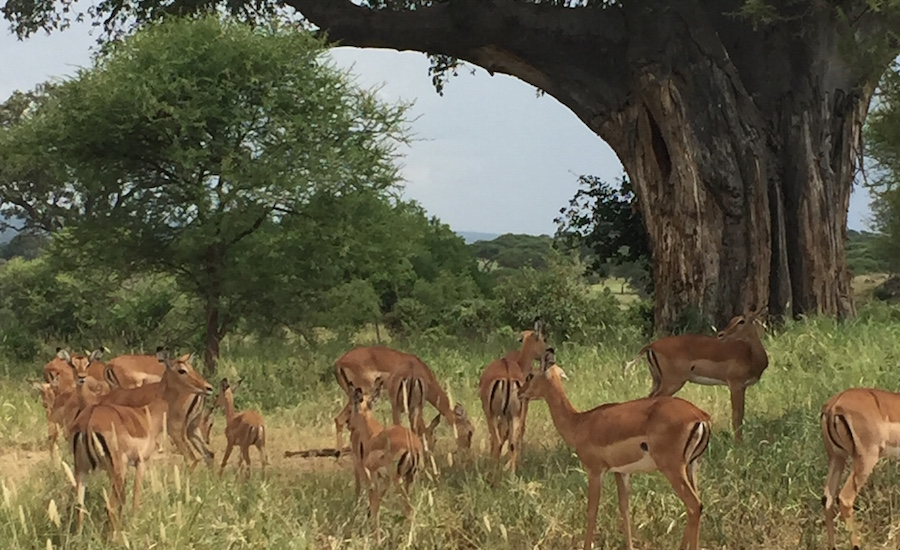 Tanzania Zanzibar safari rejse Safari i Serengeti