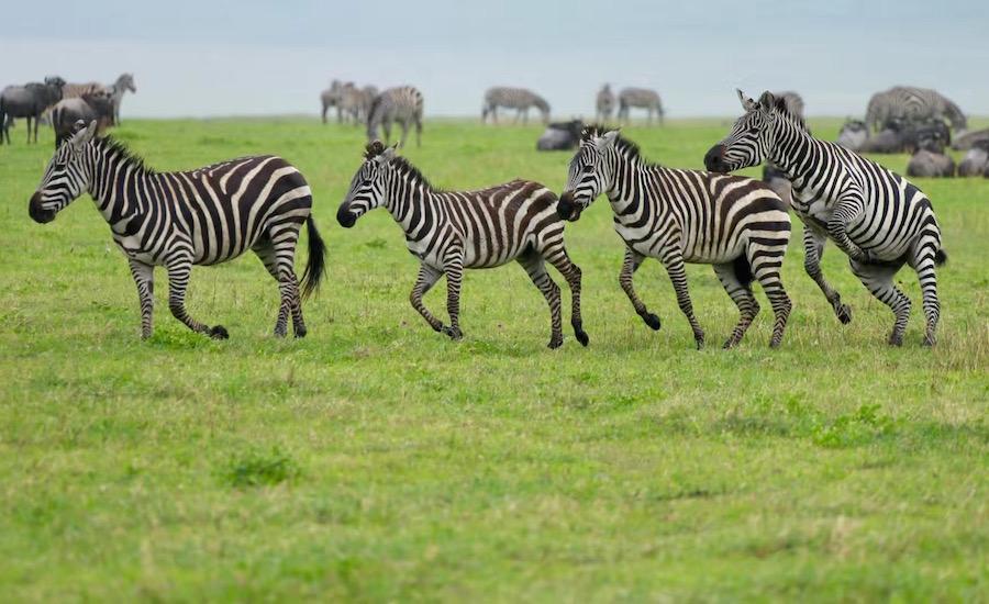 TAnzania Zanzibar safari rejse zebra