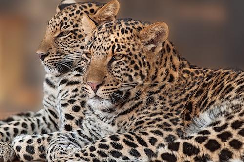 leopard_Safari_tanzania_Younes Rejser