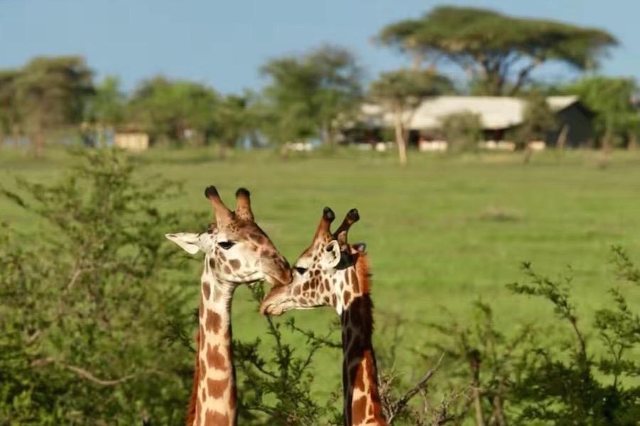 Tanzania safari giraf