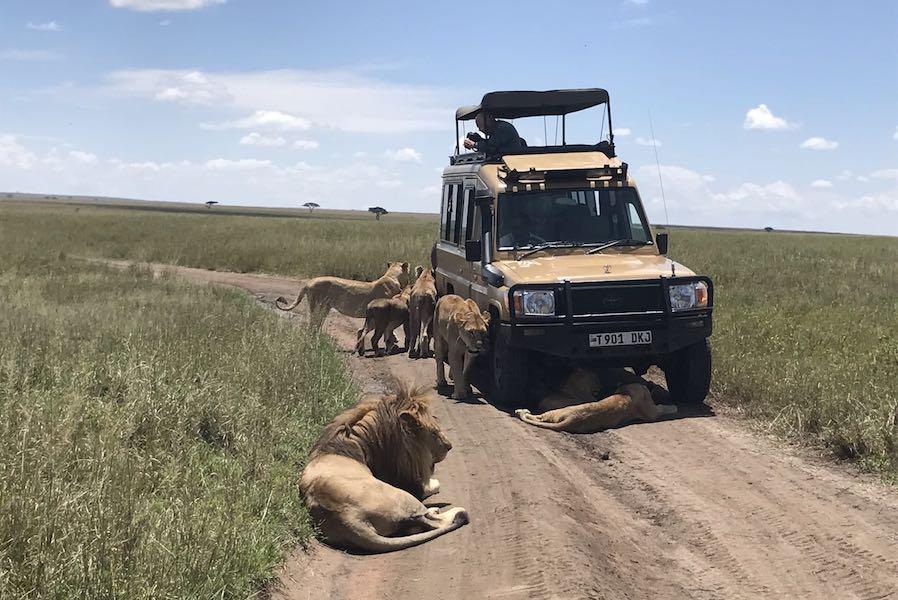 Zanzibar Tanzania safari lions resting by car