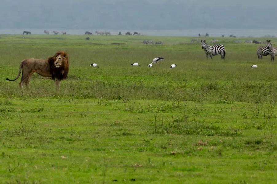 Zanzibar Tanzania safari lion and zebras