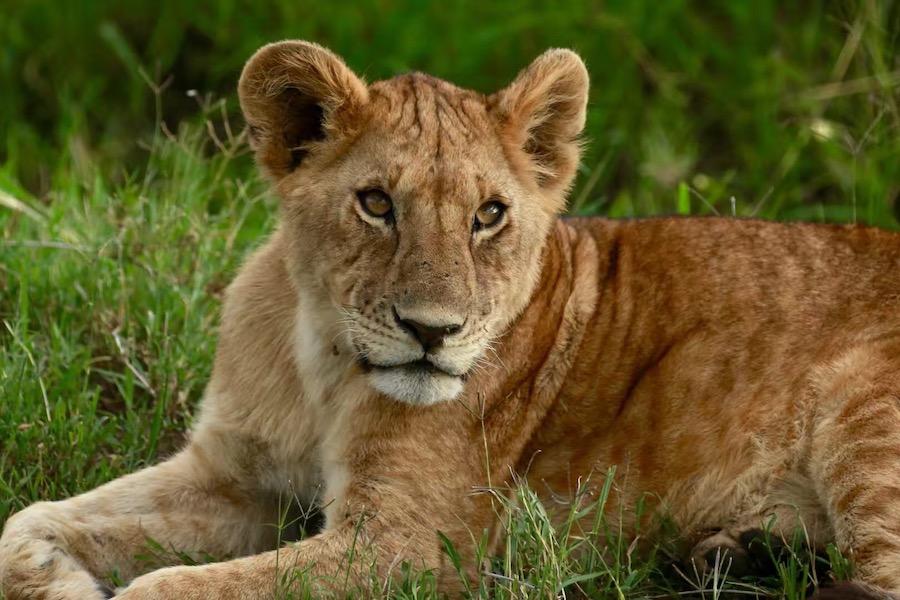 Tanzania safari miss lion