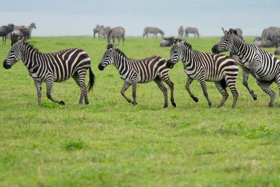 Zanzibar Tanzania safari zebras